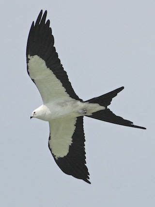 Swallow-tailed Kite - A strikingly marked raptor of wetlands in the southeastern